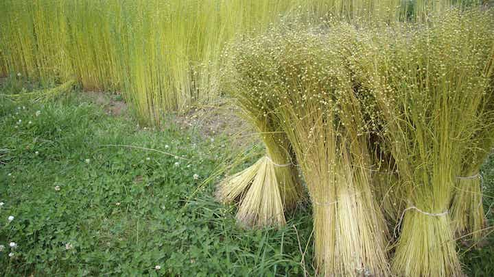 В Удмуртии началась уборка льна-долгунца